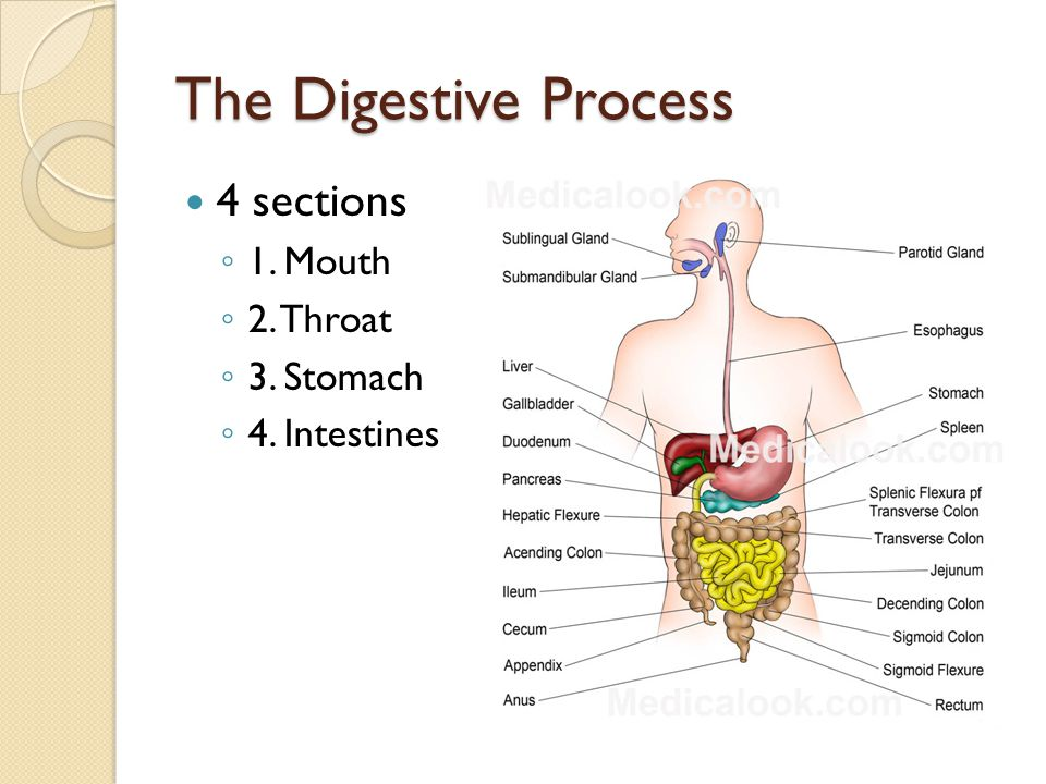 The Digestive Process 4 sections ◦ 1. Mouth ◦ 2. Throat ◦ 3. Stomach ◦ 4. Intestines