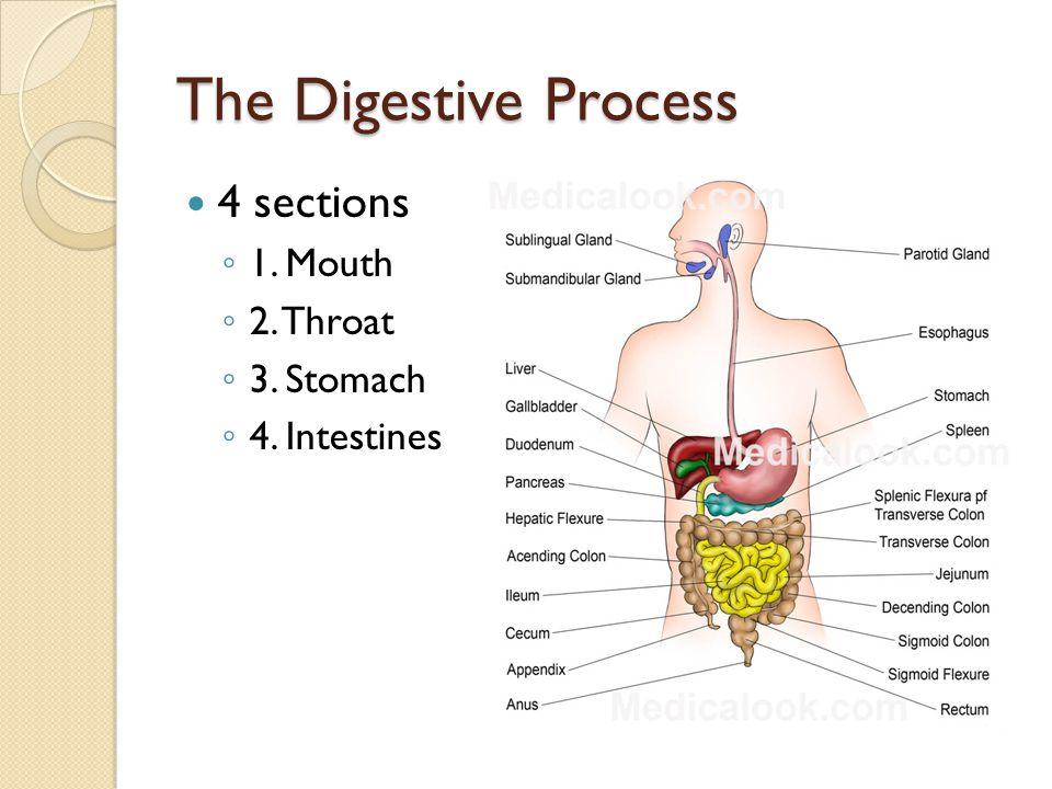 The Digestive Process - Intestines c.