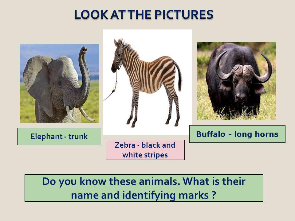 Zebra - black and white stripes Elephant - trunk Buffalo - long horns Do you know these animals.