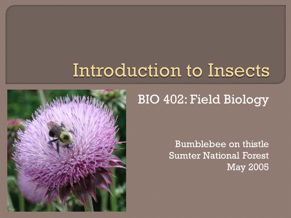 BIO 402: Field Biology Bumblebee on thistle Sumter National Forest May 2005