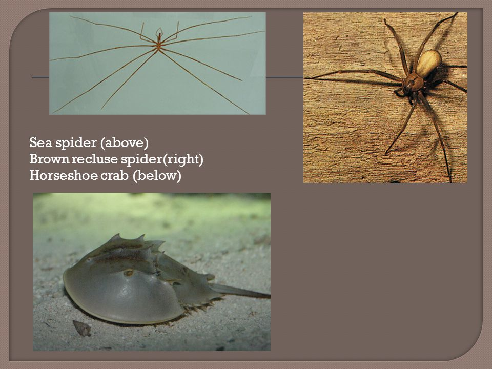 Sea spider (above) Brown recluse spider(right) Horseshoe crab (below)