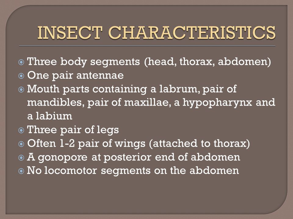  Three body segments (head, thorax, abdomen)  One pair antennae  Mouth parts containing a labrum, pair of mandibles, pair of maxillae, a hypopharynx and a labium  Three pair of legs  Often 1-2 pair of wings (attached to thorax)  A gonopore at posterior end of abdomen  No locomotor segments on the abdomen