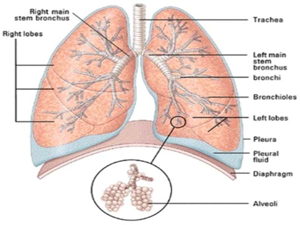 Breathing or Ventilation Factors Involved - 12-15breaths / min –inspiration - air in –expiration – air out MRV 6 L / min TV 500 ml / breath –atmospheric pressure –intrapleural pressure –Boyle's Law pressure of a gas varies inversely w/ volume