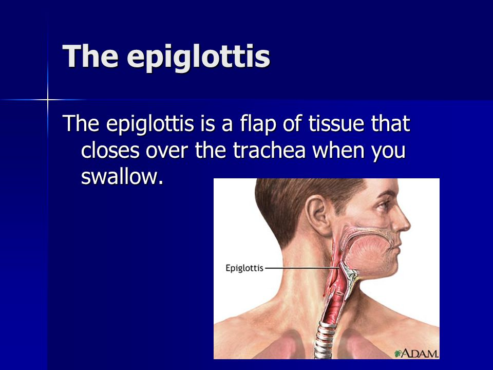 The epiglottis The epiglottis is a flap of tissue that closes over the trachea when you swallow.
