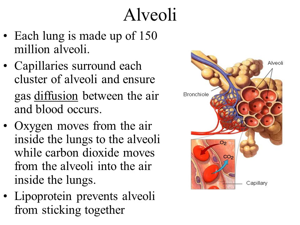 Alveoli Each lung is made up of 150 million alveoli. Capillaries surround each cluster of alveoli and ensure gas diffusion between the air and blood o