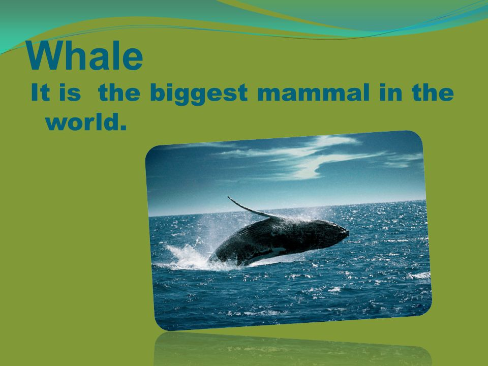 Whale It is the biggest mammal in the world.