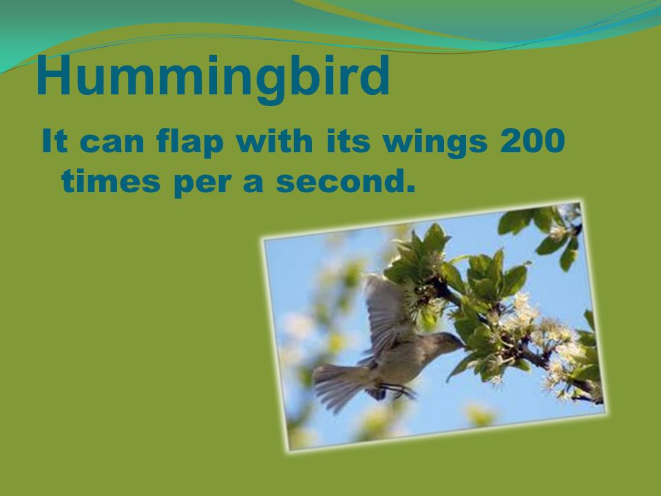 Hummingbird It can flap with its wings 200 times per a second.