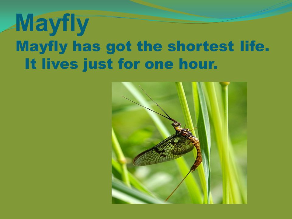 Mayfly Mayfly has got the shortest life. It lives just for one hour.