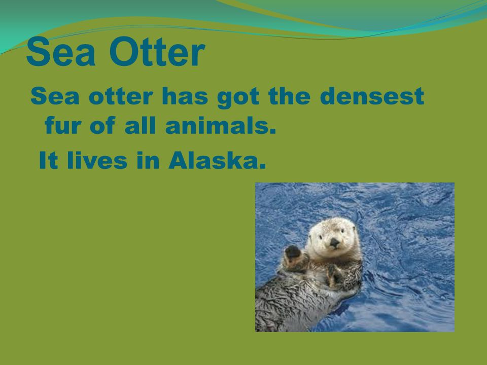 Sea Otter Sea otter has got the densest fur of all animals. It lives in Alaska.