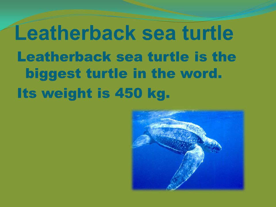 Leatherback sea turtle Leatherback sea turtle is the biggest turtle in the word.