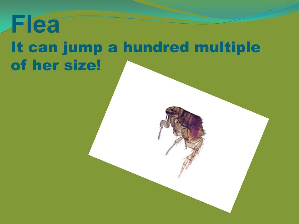Flea It can jump a hundred multiple of her size!