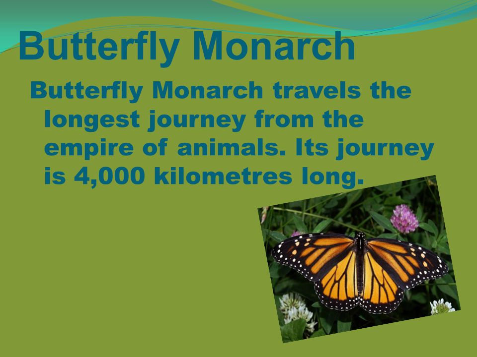 Butterfly Monarch Butterfly Monarch travels the longest journey from the empire of animals.