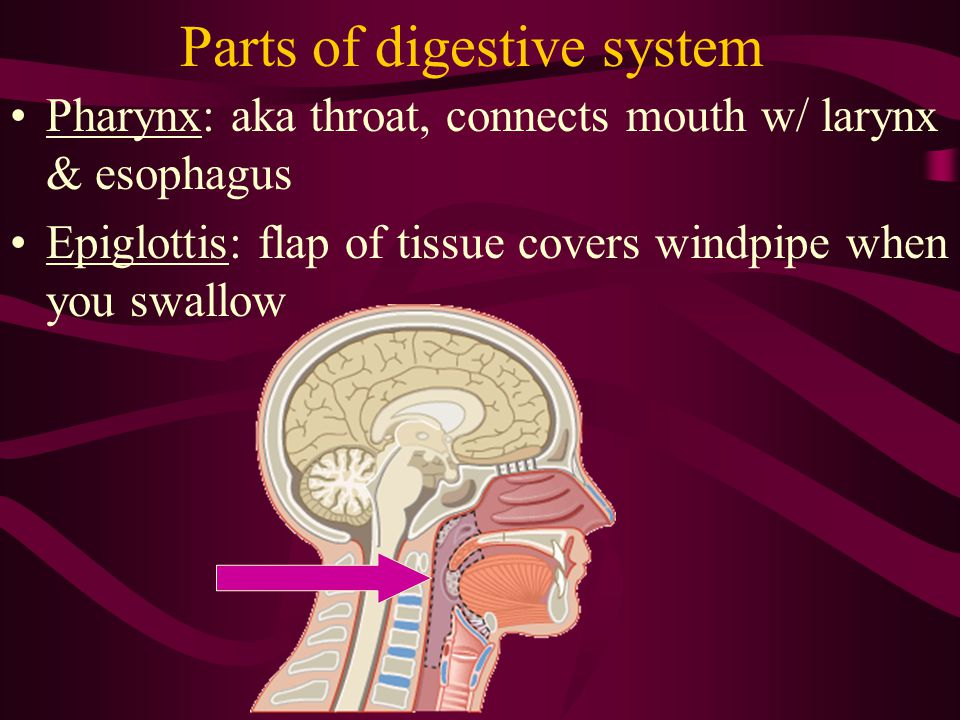 Other organs involved Salivary glands Liver Gall bladder pancreas