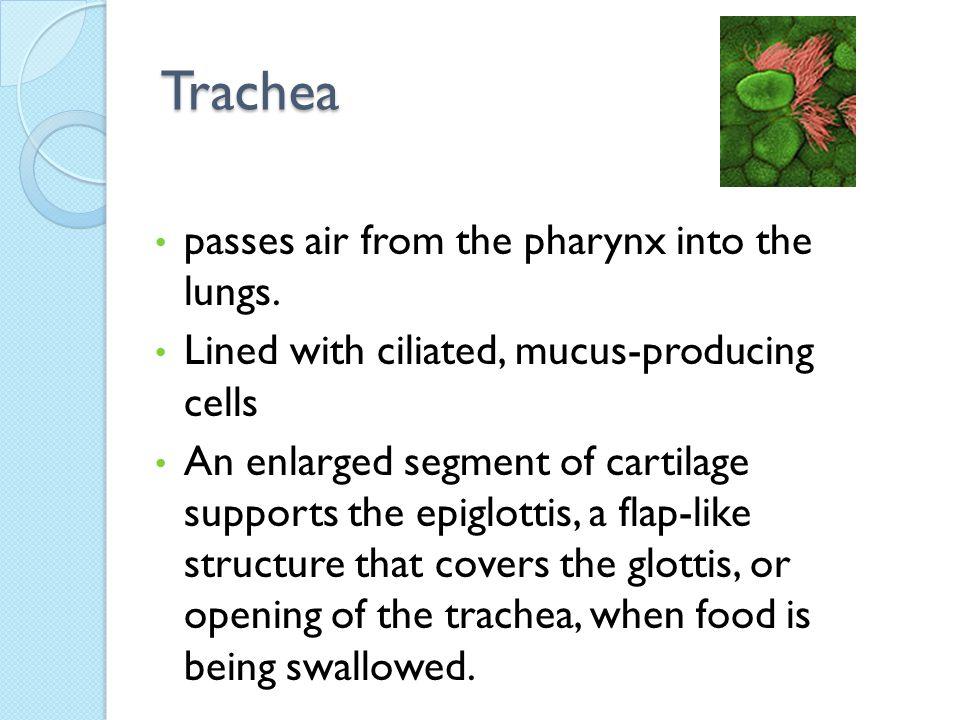 Nasal Cavity Pharynx Larynx Trachea