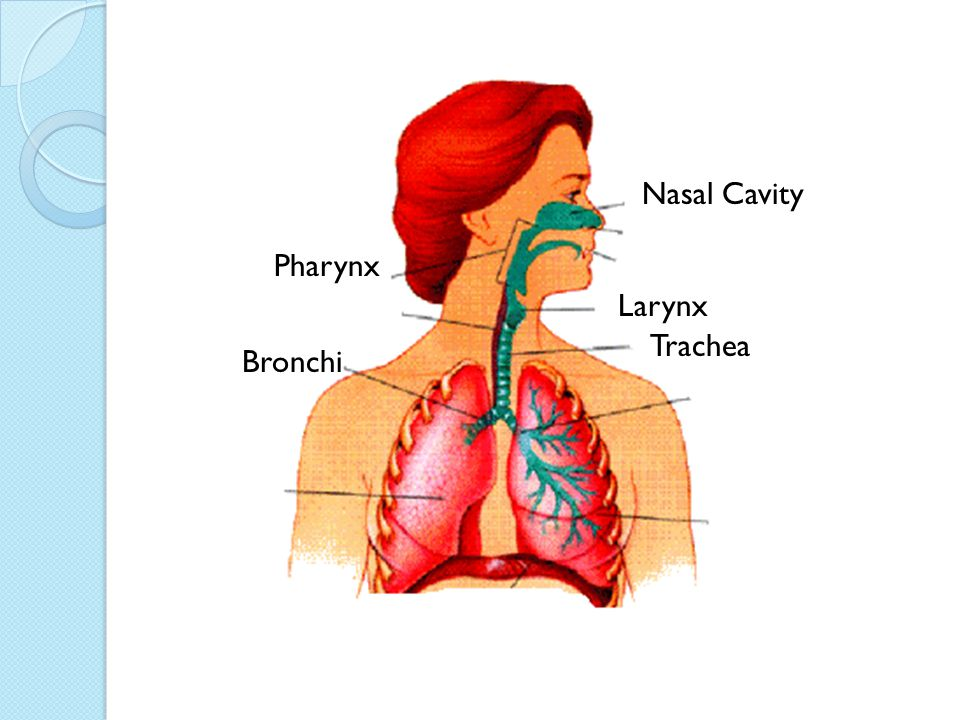 Trachea passes air from the pharynx into the lungs.