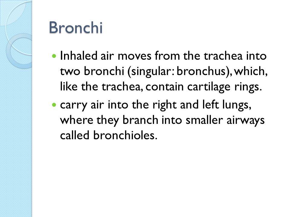 Nasal Cavity Pharynx Larynx Trachea Bronchi