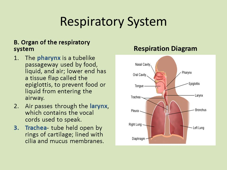 Respiratory System B. Organ of the respiratory system 1.The pharynx is a tubelike passageway used by food, liquid, and air; lower end has a tissue fla