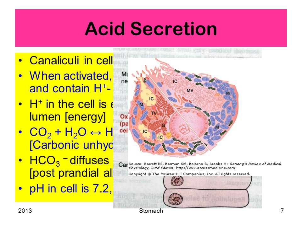 2013Stomach7 Acid Secretion Canaliculi in cells with microvilli.