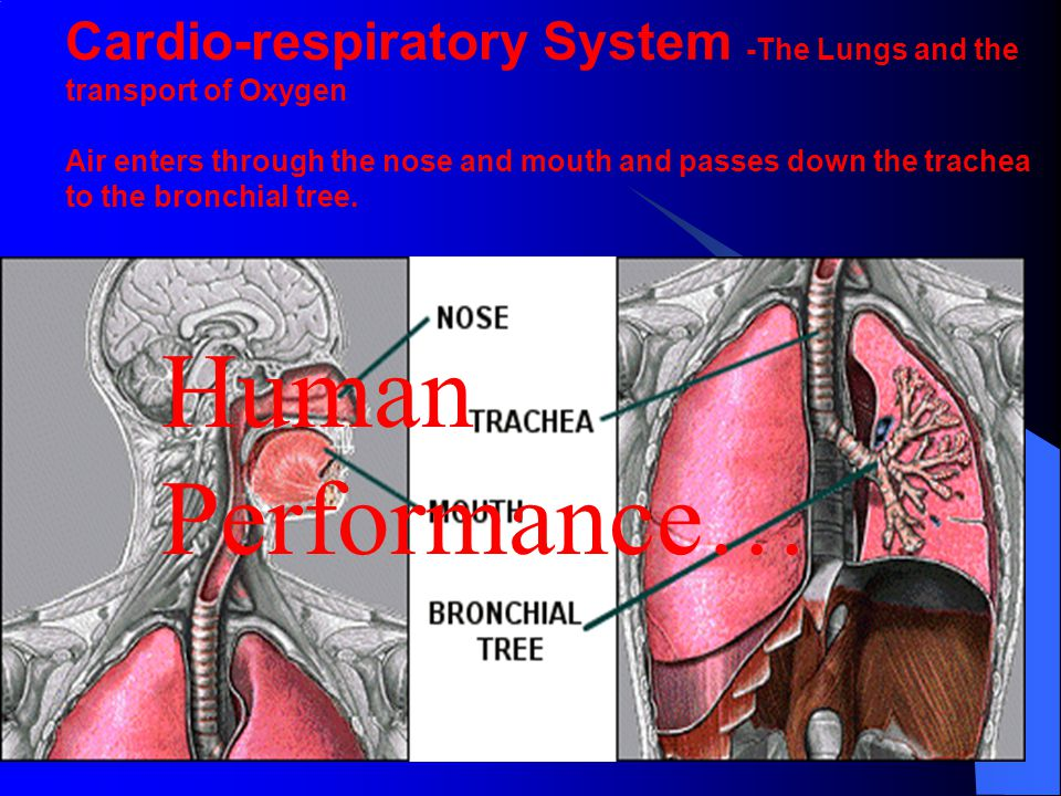 Cardio-respiratory System -The Lungs and the transport of Oxygen Air enters through the nose and mouth and passes down the trachea to the bronchial tr