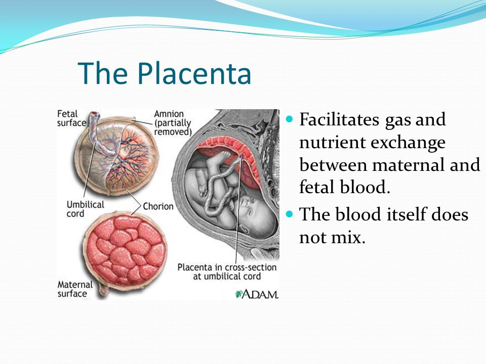 The Placenta Facilitates gas and nutrient exchange between maternal and fetal blood. The blood itself does not mix.