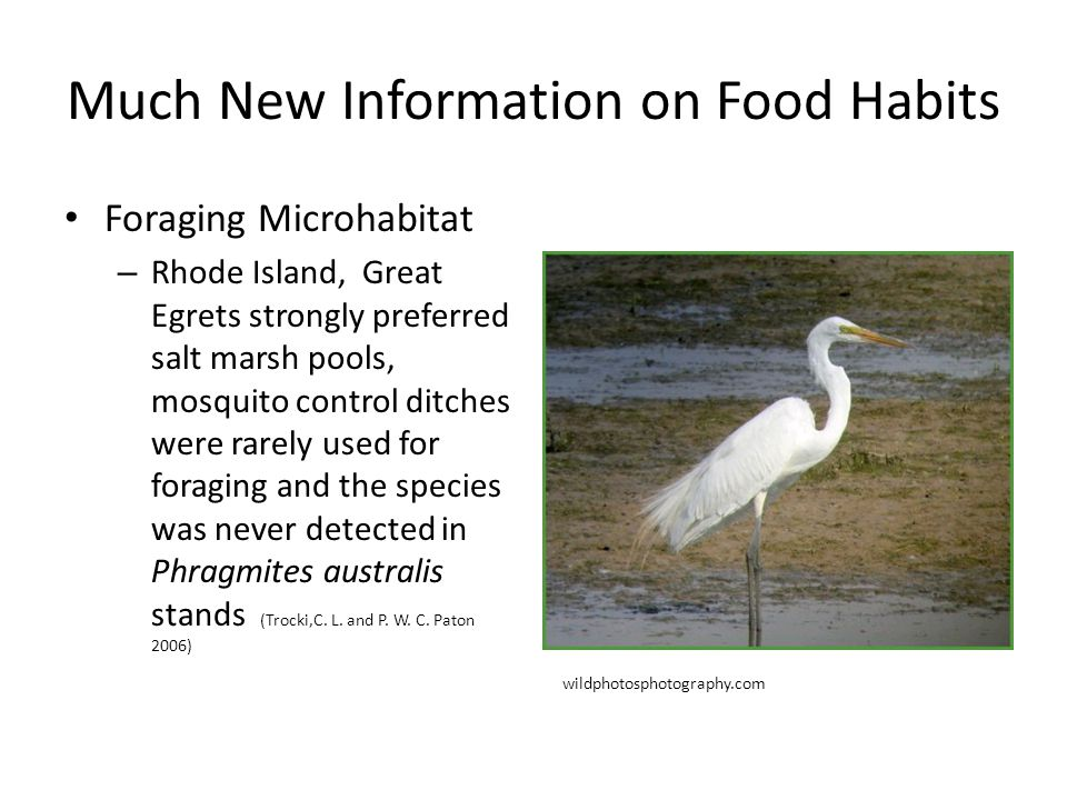 Much New Information on Food Habits Foraging Microhabitat – Rhode Island, Great Egrets strongly preferred salt marsh pools, mosquito control ditches were rarely used for foraging and the species was never detected in Phragmites australis stands (Trocki,C.