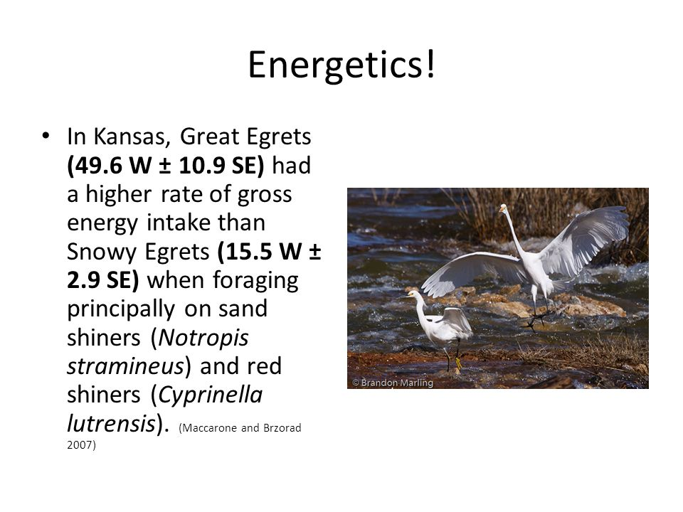 Energetics! In Kansas, Great Egrets (49.6 W ± 10.9 SE) had a higher rate of gross energy intake than Snowy Egrets (15.5 W ± 2.9 SE) when foraging prin