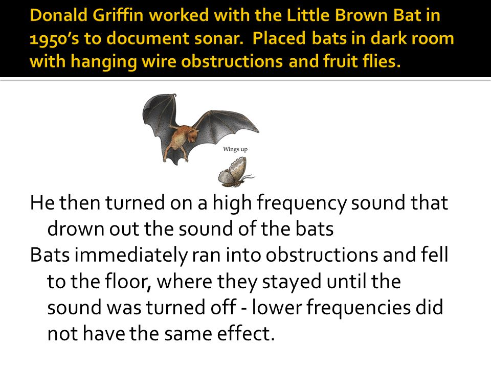 He then turned on a high frequency sound that drown out the sound of the bats Bats immediately ran into obstructions and fell to the floor, where they stayed until the sound was turned off - lower frequencies did not have the same effect.
