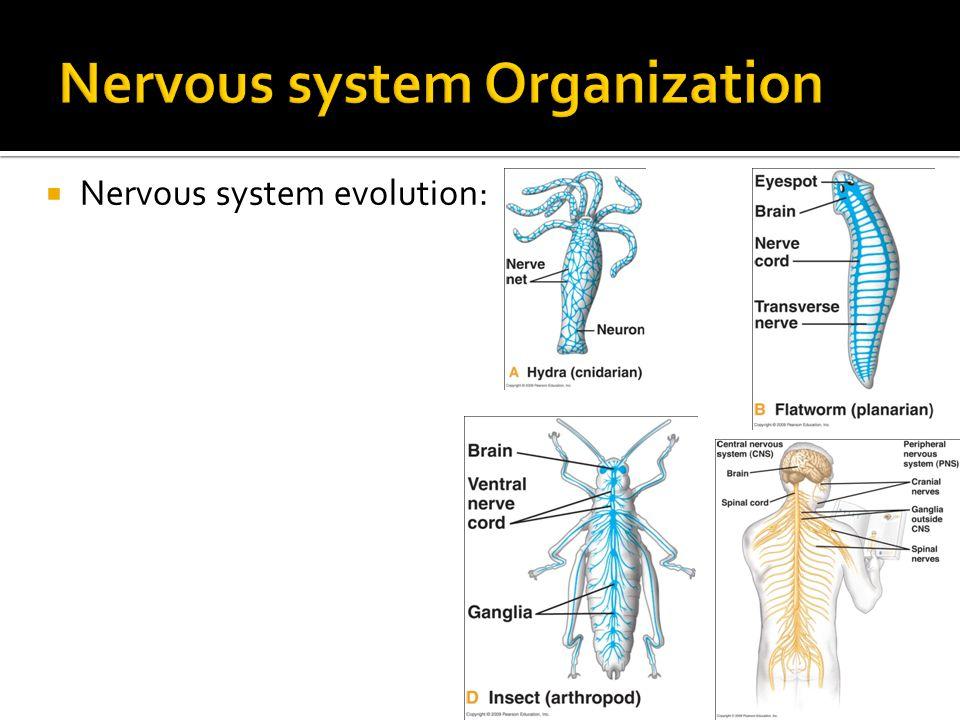  Nervous system evolution: