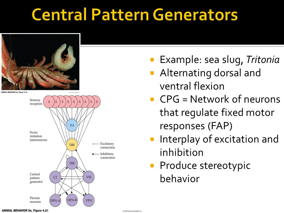  Example: sea slug, Tritonia  Alternating dorsal and ventral flexion  CPG = Network of neurons that regulate fixed motor responses (FAP)  Interplay of excitation and inhibition  Produce stereotypic behavior