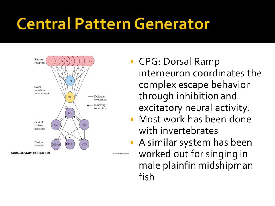  CPG: Dorsal Ramp interneuron coordinates the complex escape behavior through inhibition and excitatory neural activity.
