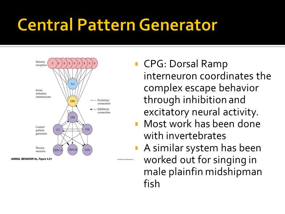  CPG: Dorsal Ramp interneuron coordinates the complex escape behavior through inhibition and excitatory neural activity.