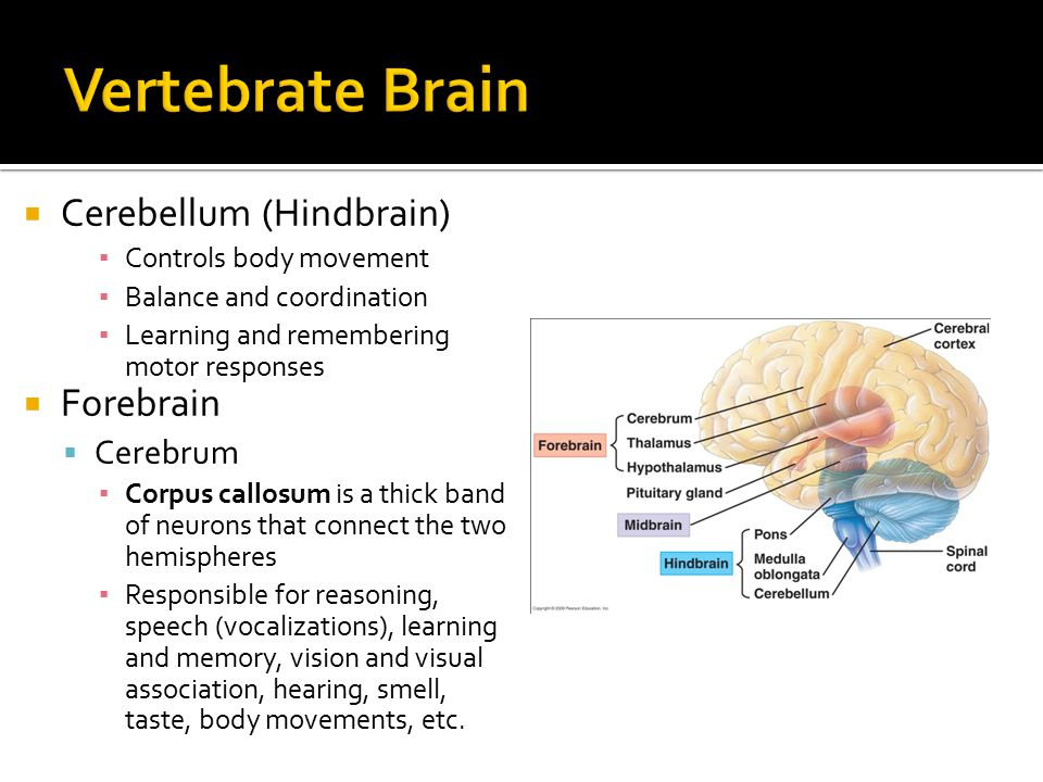  Cerebellum (Hindbrain) ▪ Controls body movement ▪ Balance and coordination ▪ Learning and remembering motor responses  Forebrain  Cerebrum ▪ Corpus callosum is a thick band of neurons that connect the two hemispheres ▪ Responsible for reasoning, speech (vocalizations), learning and memory, vision and visual association, hearing, smell, taste, body movements, etc.