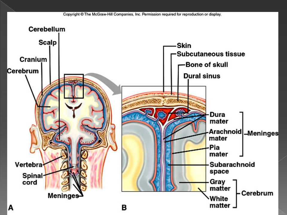  Cranial Bone  Dura mater › First layer; tough, fibrous connective tissue › Forms inner periosteum of cranial bone › Folds into the cranium in some