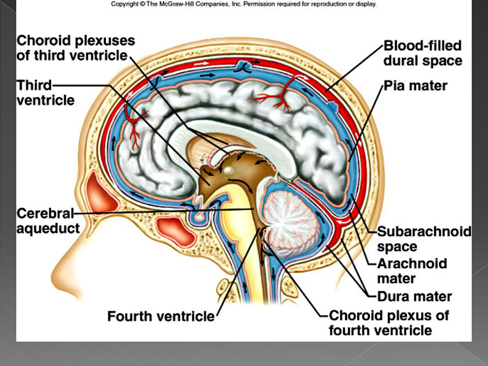  Subarachnoid space › Below arachnoid layer › Contains cerebrospinal fluid  Pia mater › Lower layer of meninges › Forms a tight covering over brain