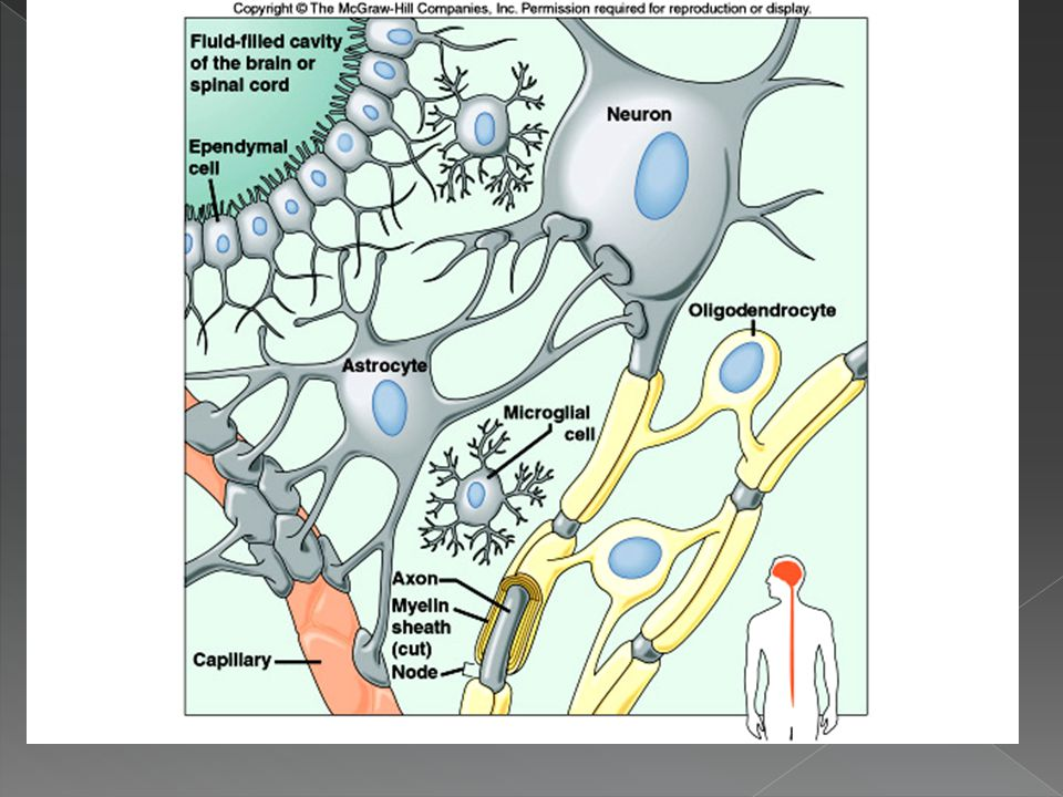  Astrocytes › Provide connection between a neuron and a blood vessel › Provide support, help regulate ion concentrations in tissue, make-up scar tiss
