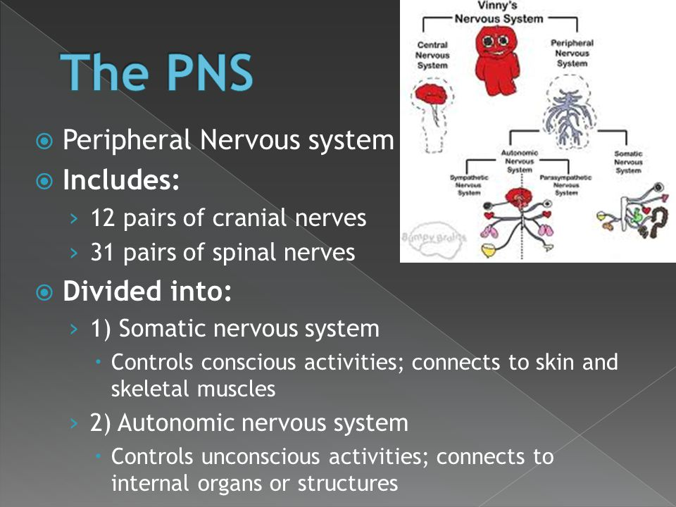  Peripheral Nervous system  Includes: › 12 pairs of cranial nerves › 31 pairs of spinal nerves  Divided into: › 1) Somatic nervous system  Control