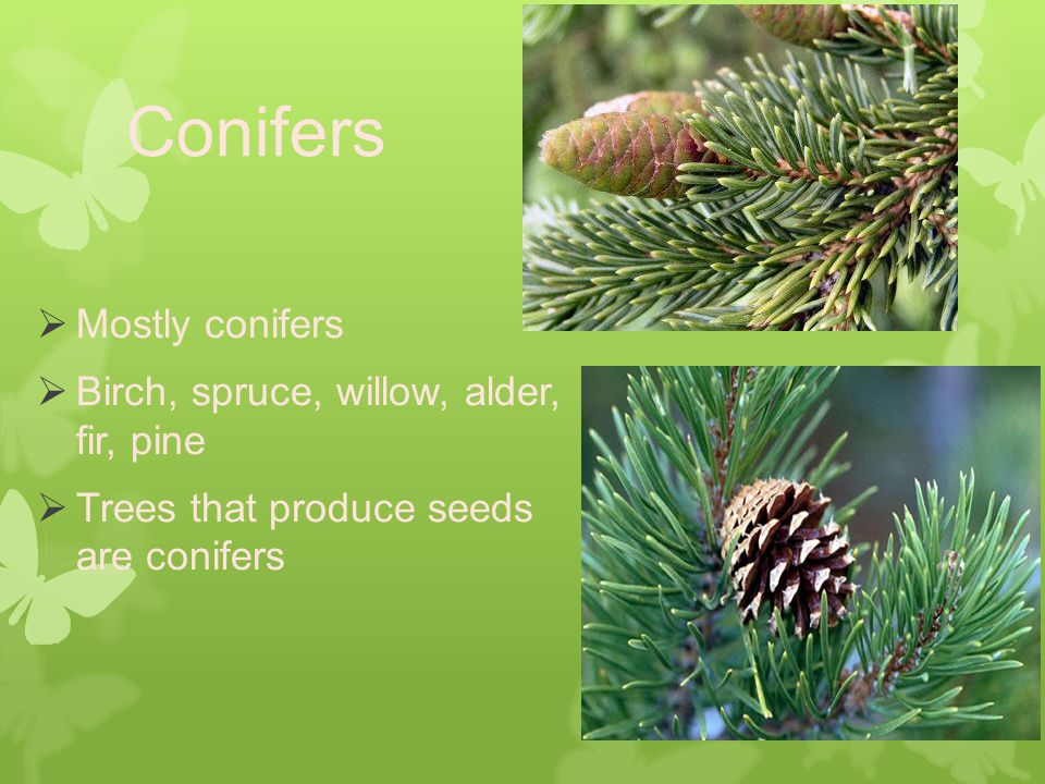 Conifers  Mostly conifers  Birch, spruce, willow, alder, fir, pine  Trees that produce seeds are conifers