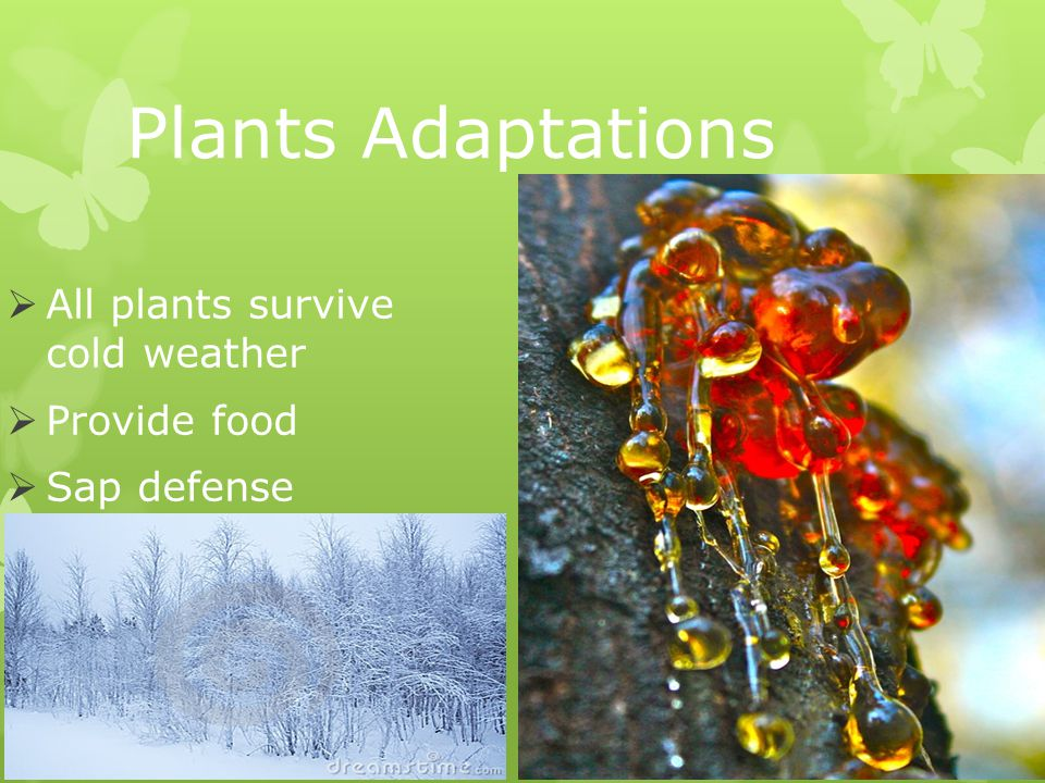 Plants Adaptations  All plants survive cold weather  Provide food  Sap defense