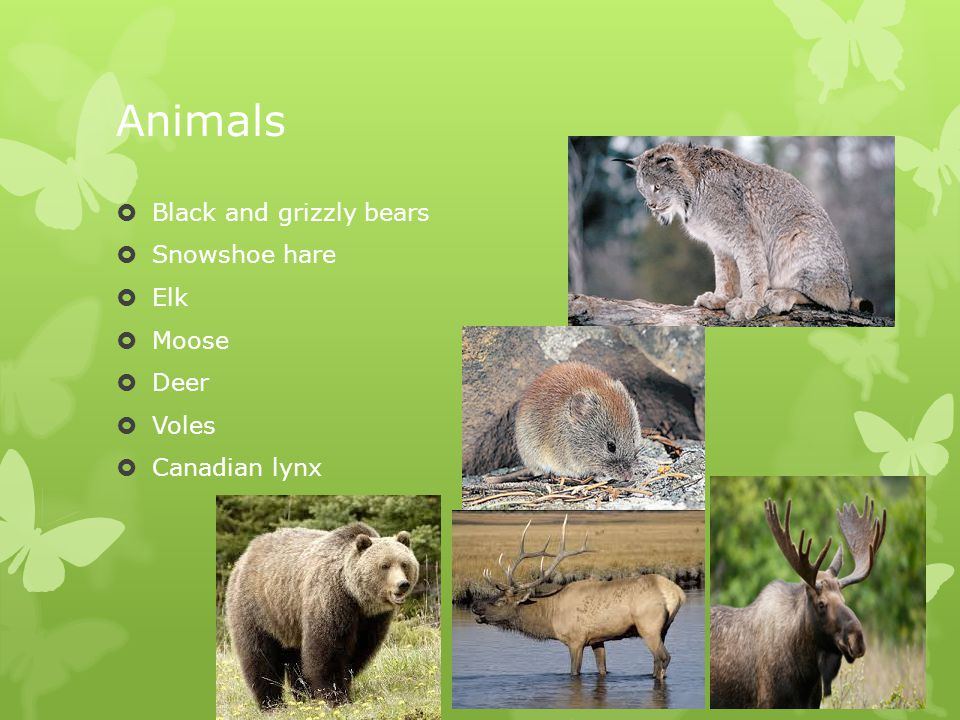 Animals  Black and grizzly bears  Snowshoe hare  Elk  Moose  Deer  Voles  Canadian lynx