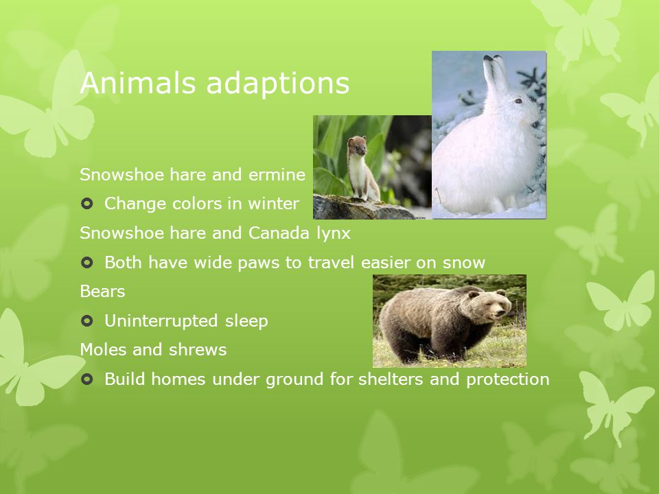 Animals adaptions Snowshoe hare and ermine  Change colors in winter Snowshoe hare and Canada lynx  Both have wide paws to travel easier on snow Bears  Uninterrupted sleep Moles and shrews  Build homes under ground for shelters and protection