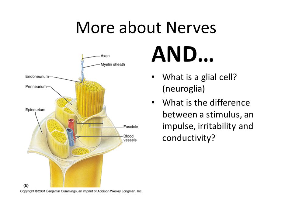More about Nerves AND… What is a glial cell? (neuroglia) What is the difference between a stimulus, an impulse, irritability and conductivity?