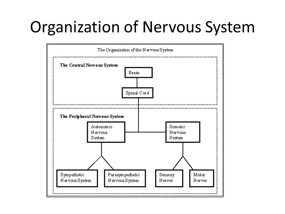 Organization of Nervous System