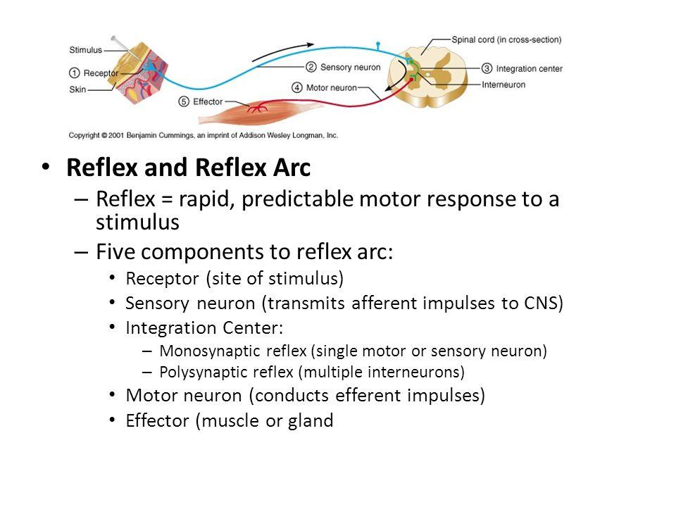 Reflex Reflex and Reflex Arc – Reflex = rapid, predictable motor response to a stimulus – Five components to reflex arc: Receptor (site of stimulus) S