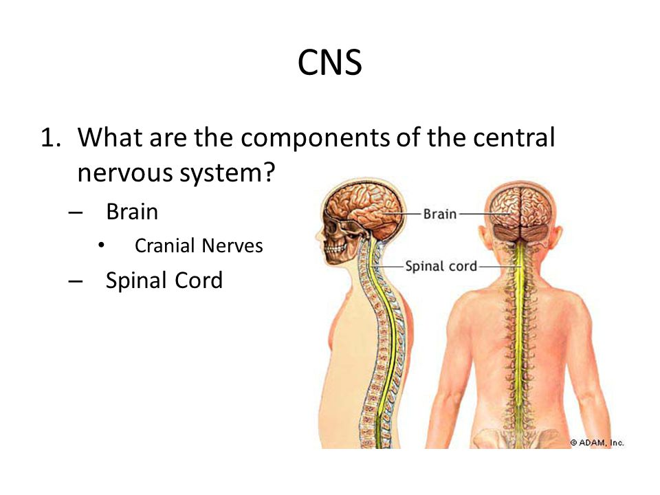 CNS 1.What are the components of the central nervous system? – Brain Cranial Nerves – Spinal Cord
