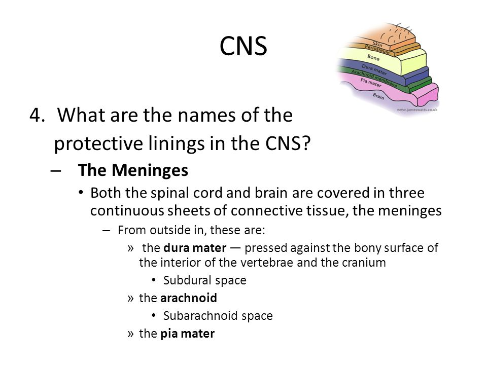 CNS 4.What are the names of the protective linings in the CNS? – The Meninges Both the spinal cord and brain are covered in three continuous sheets of