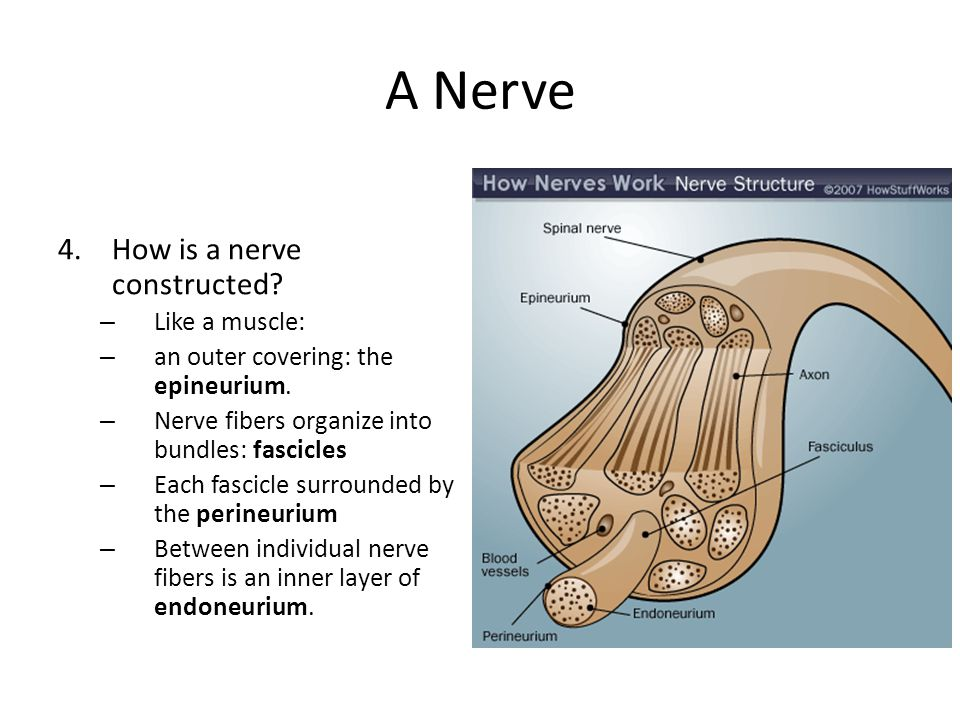 More about Nerves AND… What is a glial cell.