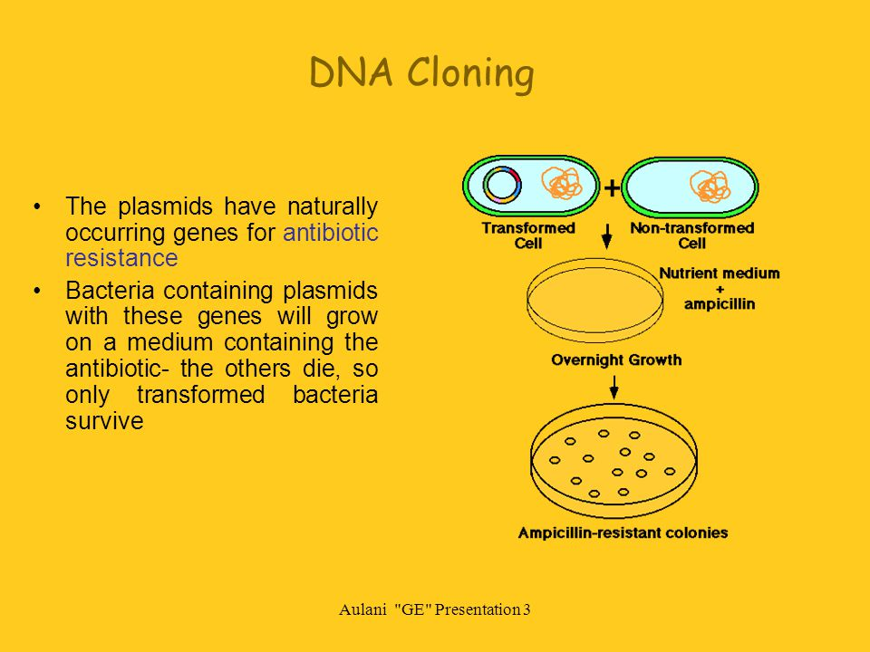 Aulani GE Presentation 3 DNA Cloning The plasmids have naturally occurring genes for antibiotic resistance Bacteria containing plasmids with these genes will grow on a medium containing the antibiotic- the others die, so only transformed bacteria survive