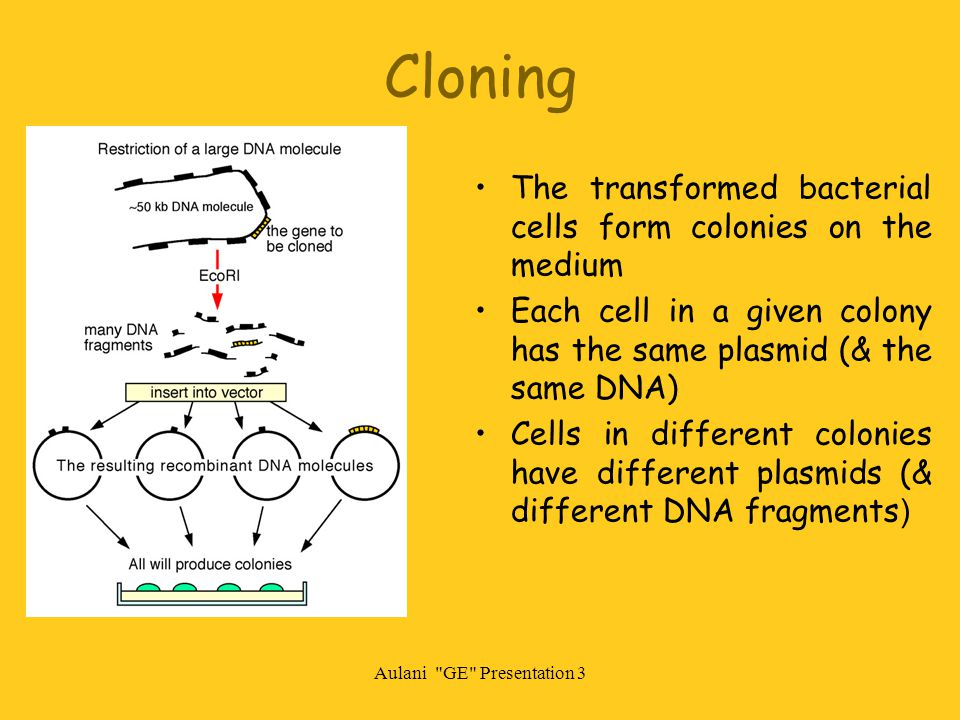 Aulani GE Presentation 3 Cloning The transformed bacterial cells form colonies on the medium Each cell in a given colony has the same plasmid (& the same DNA) Cells in different colonies have different plasmids (& different DNA fragments )