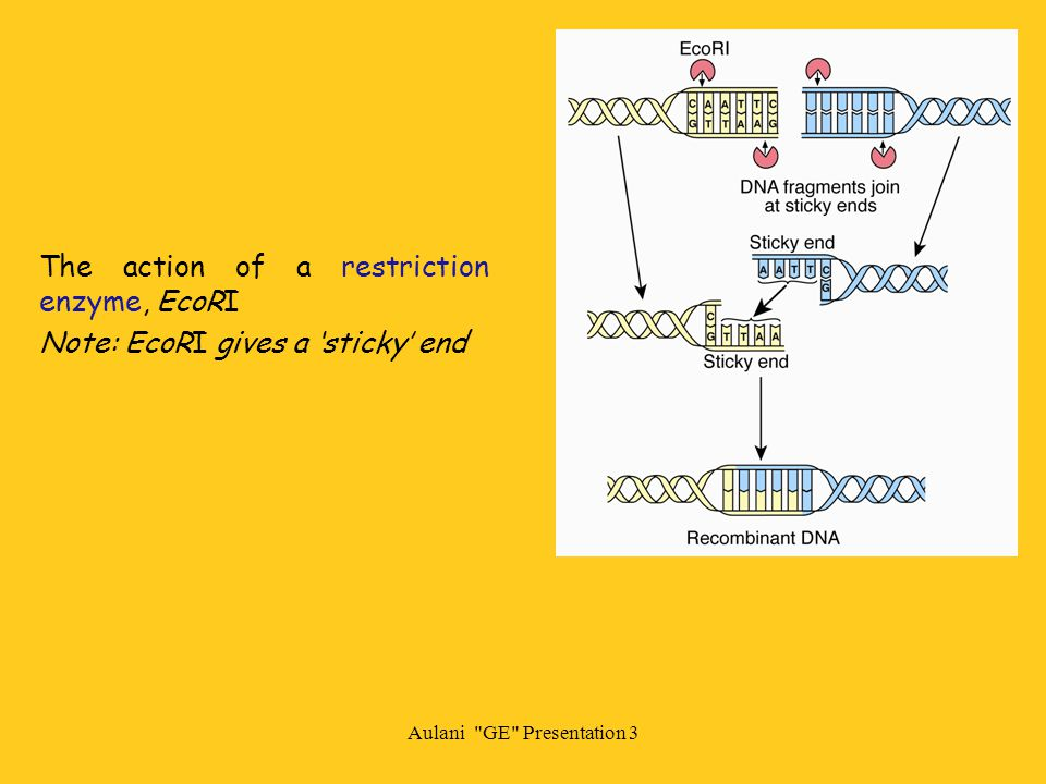 The action of a restriction enzyme, EcoRI Note: EcoRI gives a 'sticky' end