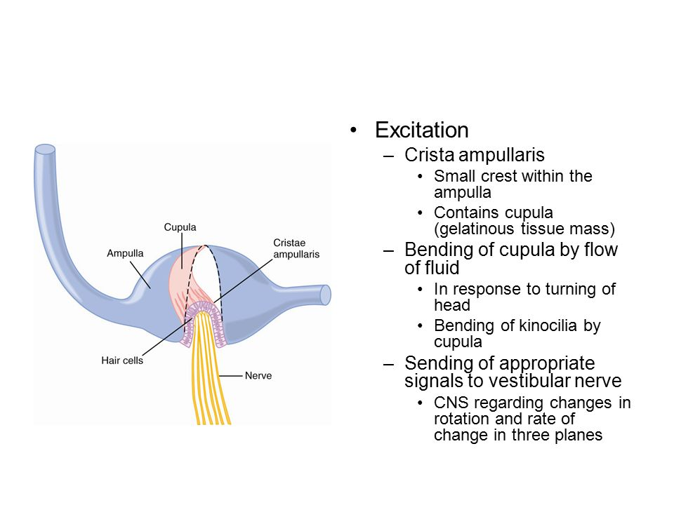 Excitation –Crista ampullaris Small crest within the ampulla Contains cupula (gelatinous tissue mass) –Bending of cupula by flow of fluid In response